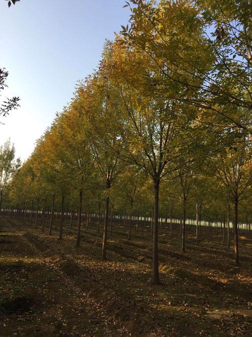 白蜡树树形优美叶鲜绿花徘红
