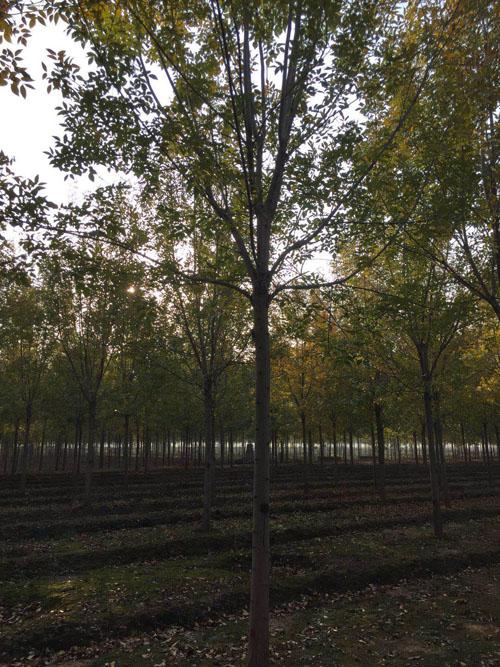 白蜡喜温暖湿润气候耐寒富光薄土壤