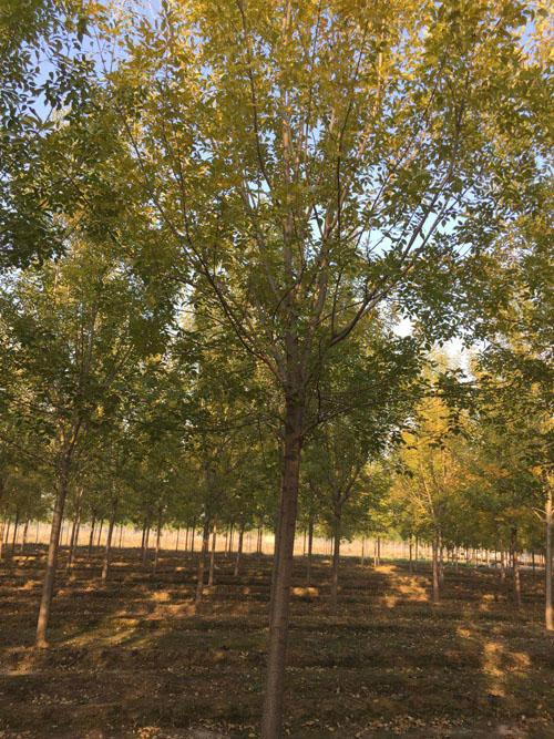白蜡培育的苗木规格高根系发达