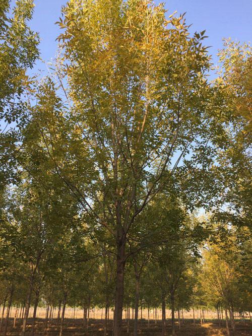 白蜡移植绿阔叶树大大提高了工作效率