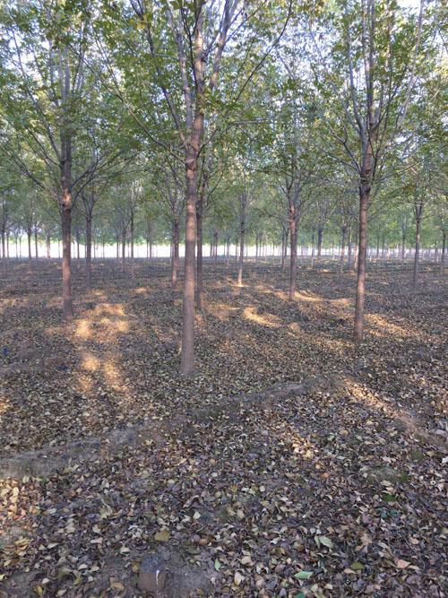 白蜡生长迅速树冠较大树形美观