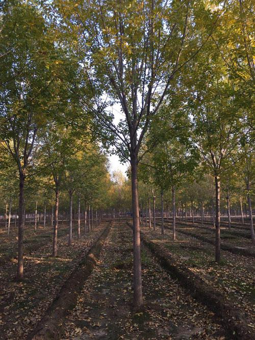 白蜡苗木土壤微生物的活动和有质分解
