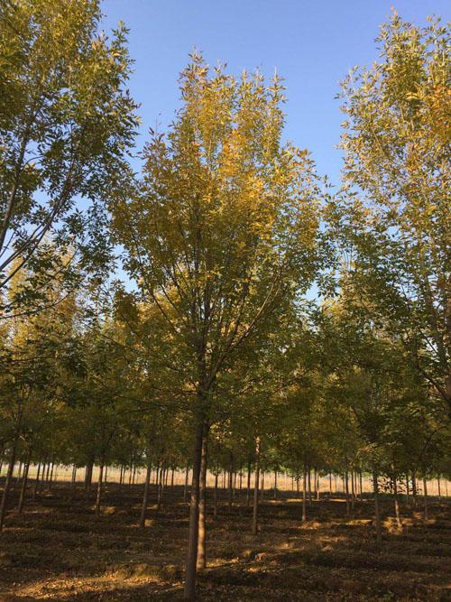 白蜡苗木提高育苗成本应采取措施降温