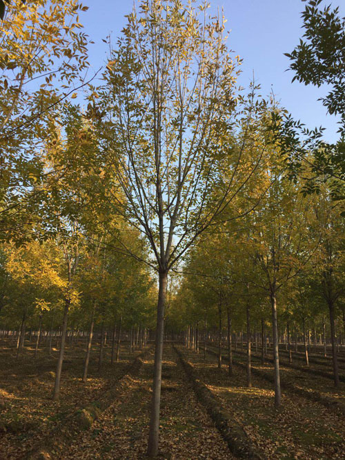 白蜡砧木选相应粗度当年生穗条
