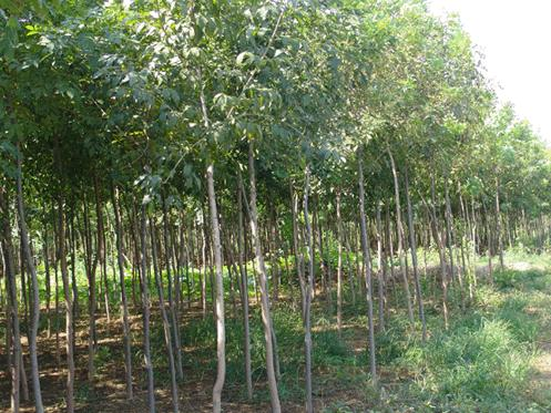 白蜡整株顶芽发育叶片绿色至黄绿色