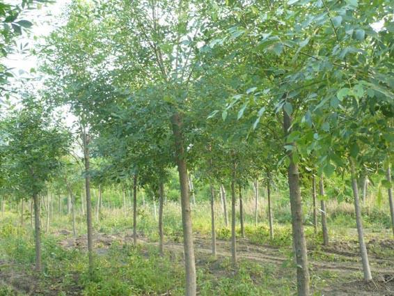 白蜡移植苗木较小根系较线