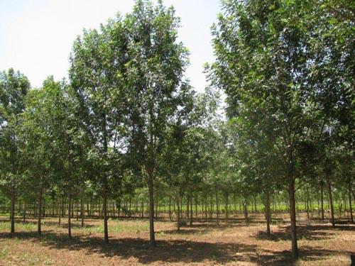 白蜡栽培植物保持中基质温度