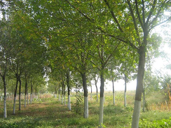 白蜡移栽苗木充分进行光合作用