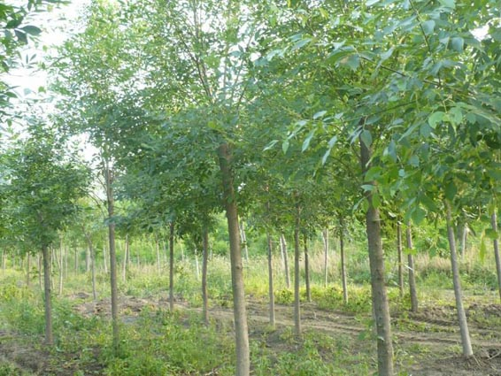 白蜡苗木是城市绿化的基础