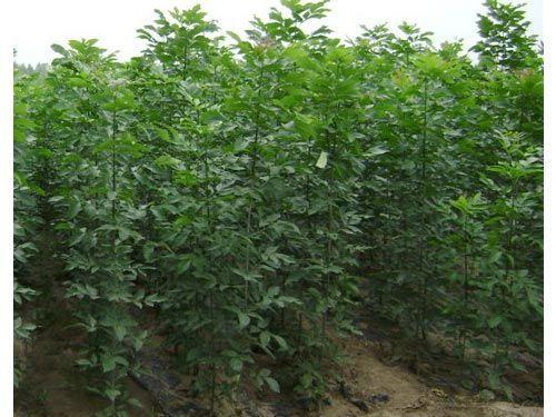 白蜡假植早春树木发芽之前