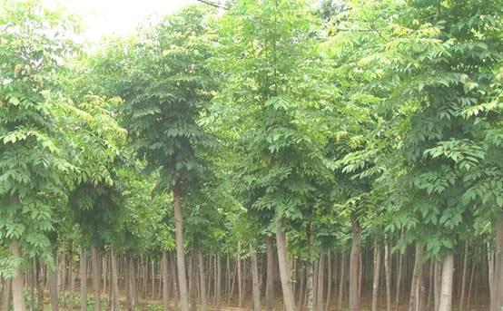 白蜡根系与土壤密接浇定根水