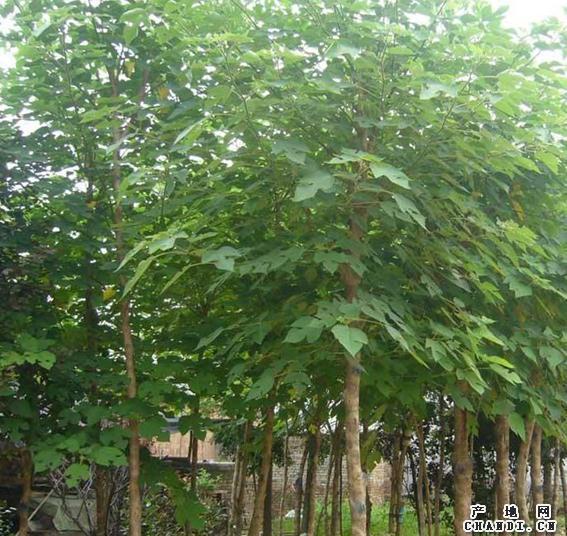 白蜡苗木数量达要求时捆扎成卷