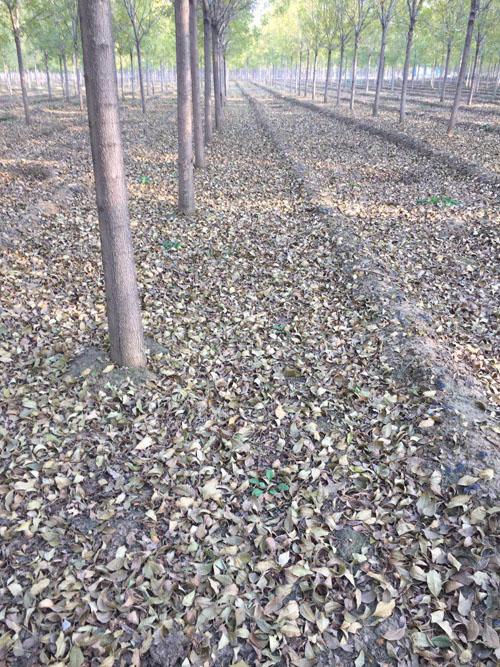 白蜡带土球栽植裸根栽植两种情况