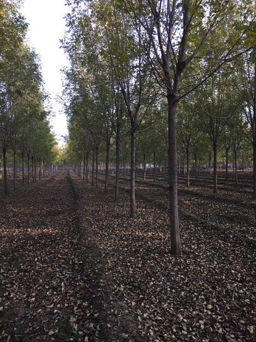 白蜡修剪生长势增强多年生枝组