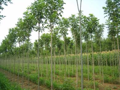 白蜡苗木保护技术吸足水分