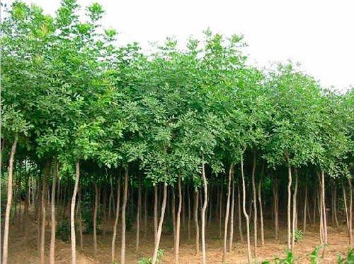 白蜡树冠宽阔枝叶茂密夏季叶片浓绿