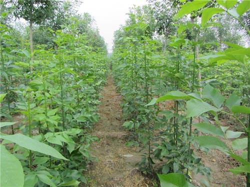 白蜡苗木生长和整形分枝角度适当