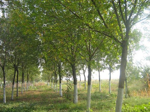 白蜡灌溉有地面渠道引水和暗管引水两种