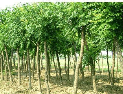 白蜡栽植苗木树冠周围喷水保持湿润