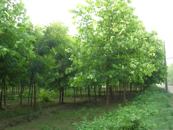 白蜡植物栽植耐旱性较强喜光