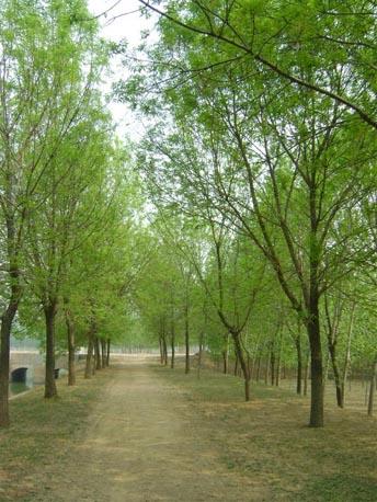白蜡针叶树种植物根系的生长