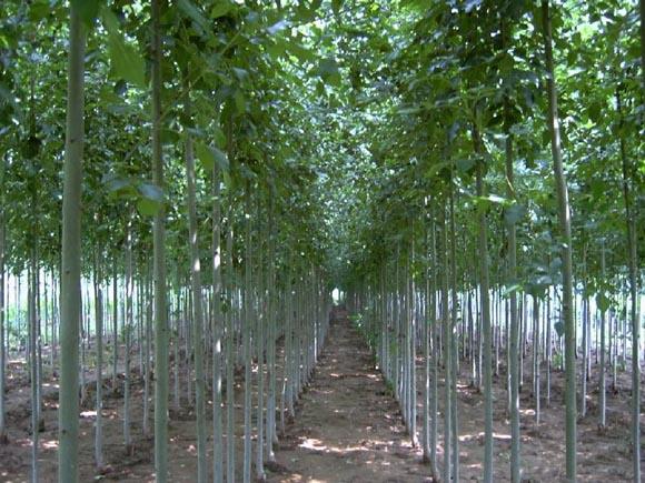 白蜡乔木树冠阔卵形生长速度较快