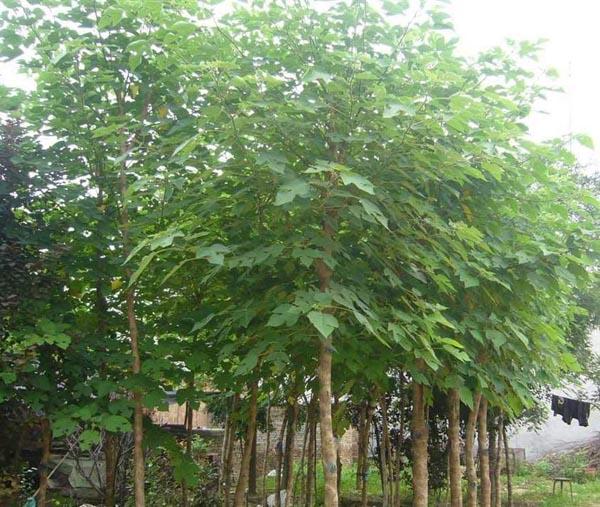 白蜡苗木落叶树种在根系生成