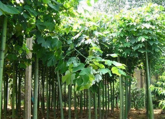 白蜡园林苗木整形原则合理树体结构