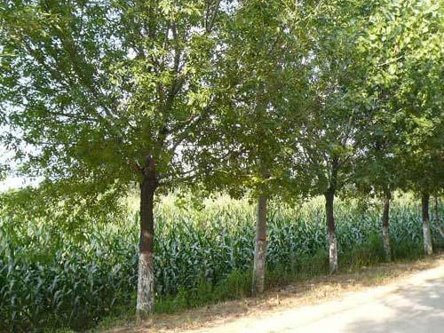 白蜡生长健壮的枝条及时浇水施肥