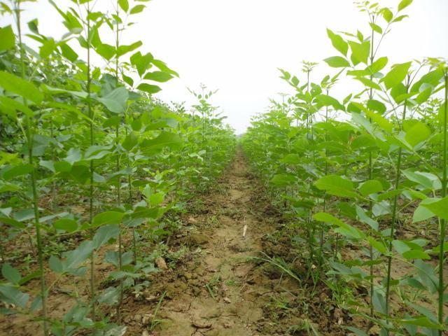 白蜡吸收后供给植物体生长和发育