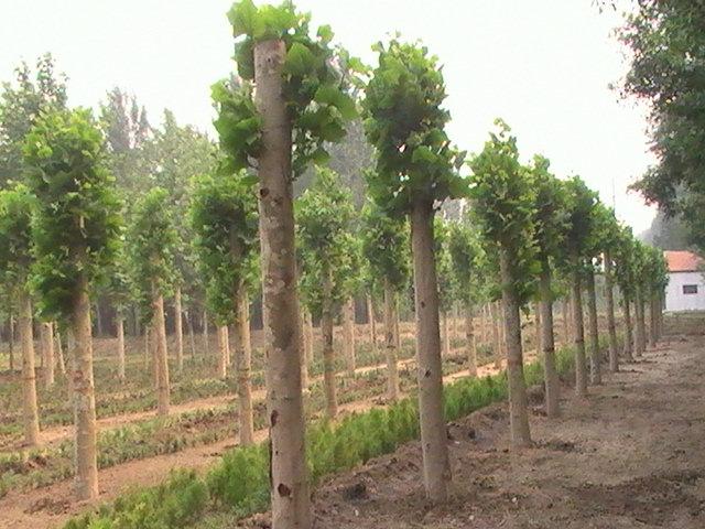 白蜡植物育苗方法扦插后成苗快