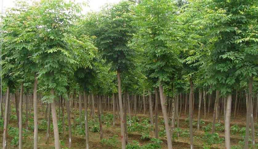 白蜡苗木干旱风大土壤的水分蒸发量大