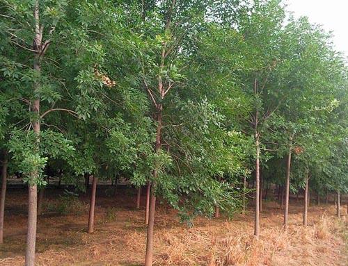 白蜡树冠圆锥形树干通直大苗移植