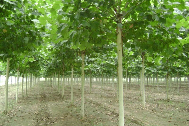 白蜡树木移栽时的营养供给