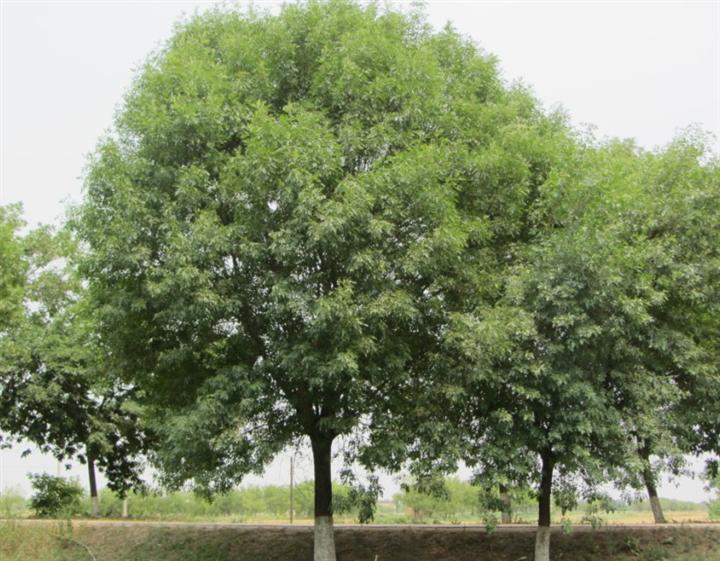 白蜡管理使空气流通植株生长良好