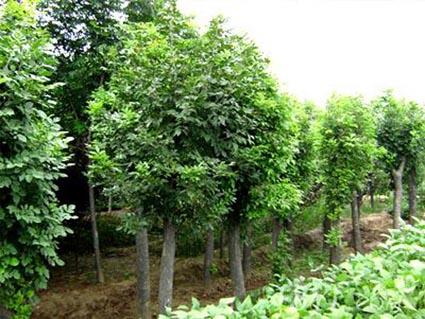白蜡生长旺盛可形成高大通直的树