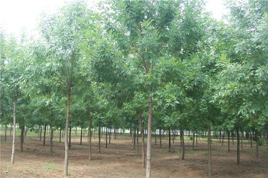 白蜡苗木生长的日照时间和光照强度