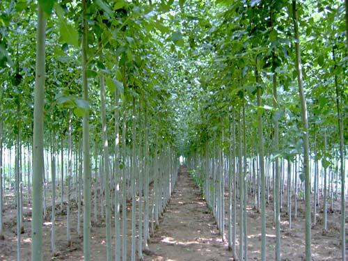 白蜡栽植后促使成活需浇3遍水