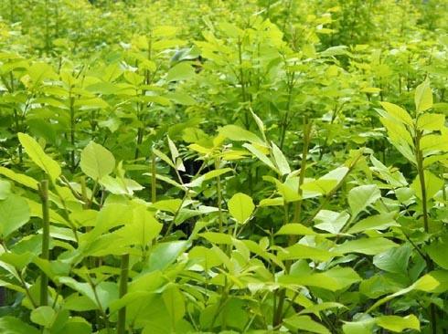 白蜡生长快的树种苗木有足够营养面积